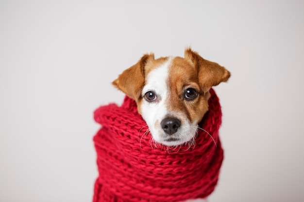Portrait of a cute young small dog with a red scarf covering him