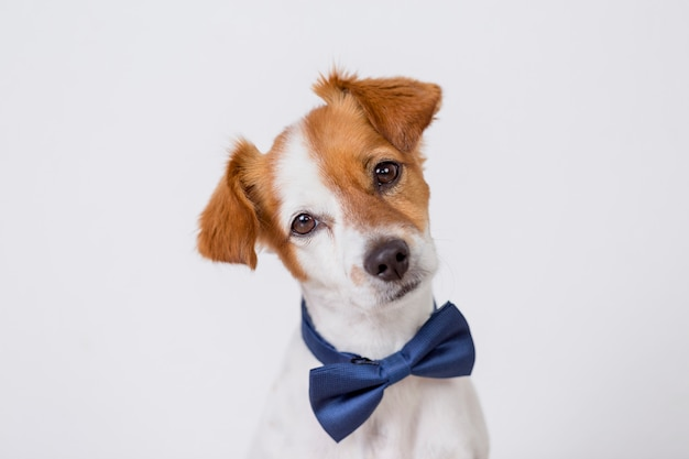 Portrait of a cute young small white dog wearing a modern blue bowtie.