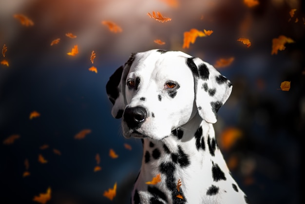 Portrait of a dalmatian dog in autumn leaf fall in the park.