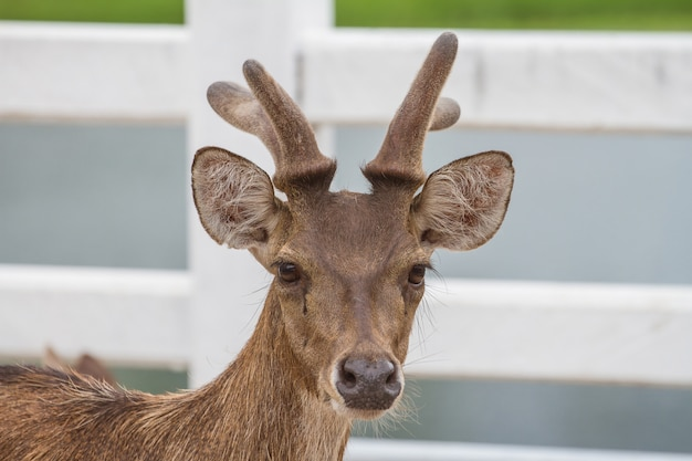 Portrait of deer in farm thailand, animal and wildlife concept