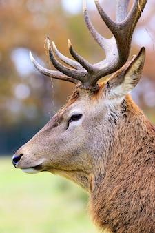 Portrait of deer stag in forest landscape