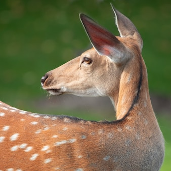Portrait of a deer in the wild