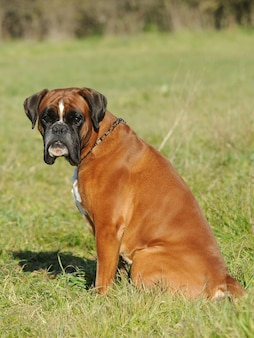 Portrait of dog breed boxer