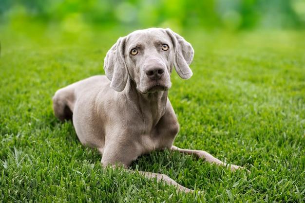 Portrait of a dog of the breed braco de weimar, weimaraner.