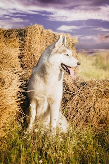 Portrait of a dog on the haystacks in rural areas. siberian husky with blue eyes.
