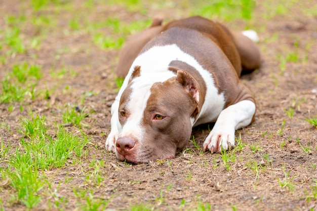 Portrait of dog lying on the gravel ground. focus on his sad eyes,  looking sad.