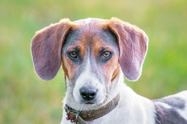 品種エストニアハウンドの肖像犬