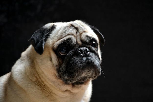 Portrait of dog pug