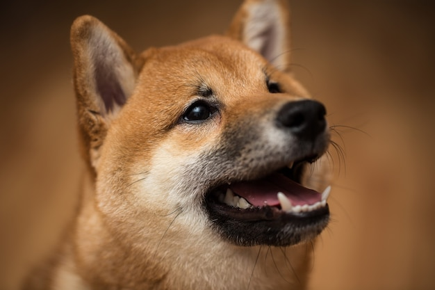 Portrait of a dog shiba inu, front view