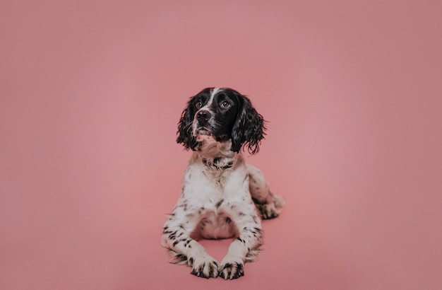 Portrait of a dog in a studio against a pink backdrop