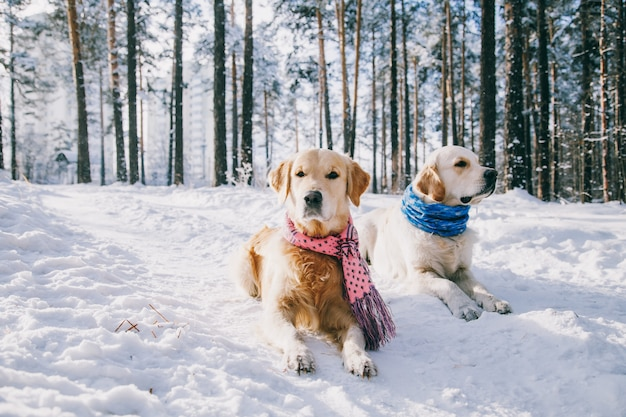 Portrait of a dog wearing  scarf outdoors in winter. two young golden retriever playing in the snow in the park.  clothes