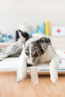 Portrait of a dog with bandage lying on table