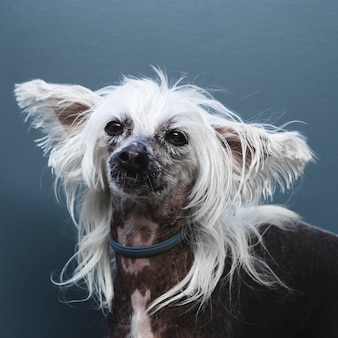 Portrait of a dog with long ears and hairstyle