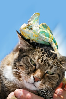 Portrait of a domestic cat close up with a chameleon on his head