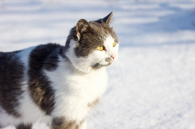 Portrait of a domestic cat in the winter.