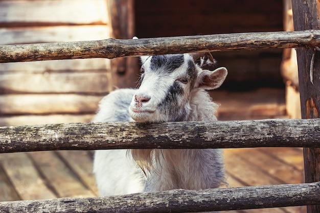 Portrait of domestic goat on farm, wooden surface