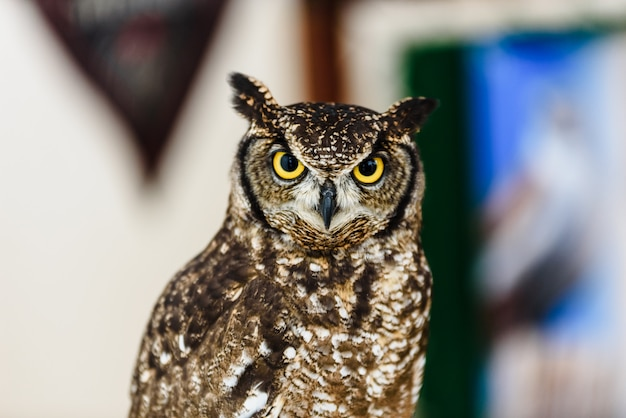 Portrait of a eagle owl, bubo bubo, bright eyed captive at a falconry festival.