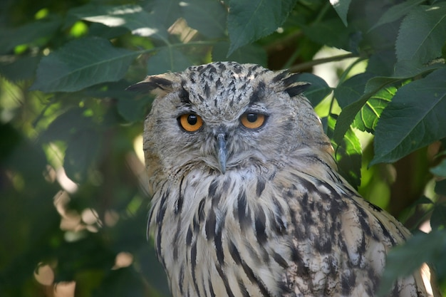 Portrait of an eagle owl with