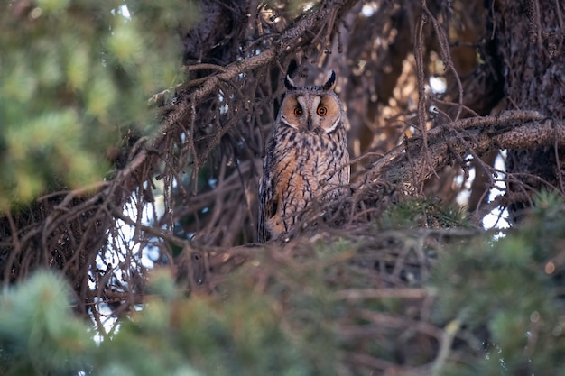 Portrait of an eared owl in the forest