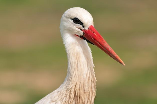 Portrait of a elegant stork