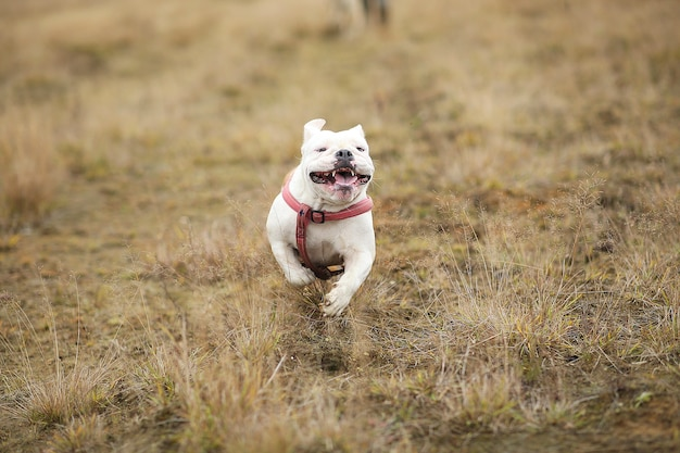 Portrait of english bulldog running forward on the field and looking at camera