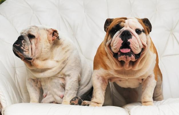 Portrait of english bulldog
