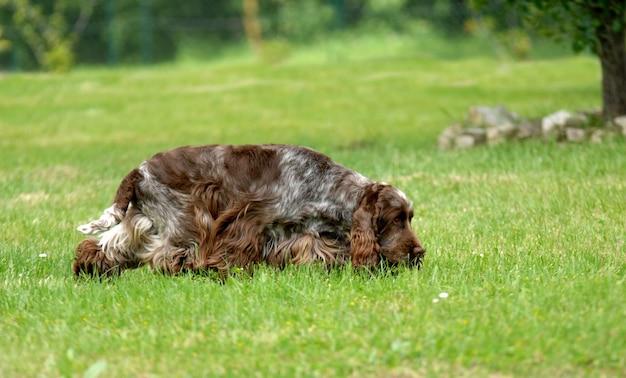Portrait of english cocker spaniel dog