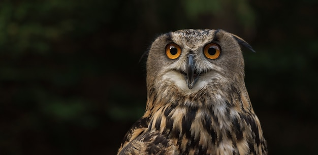 Portrait of eurasian eagle owl looking at the front