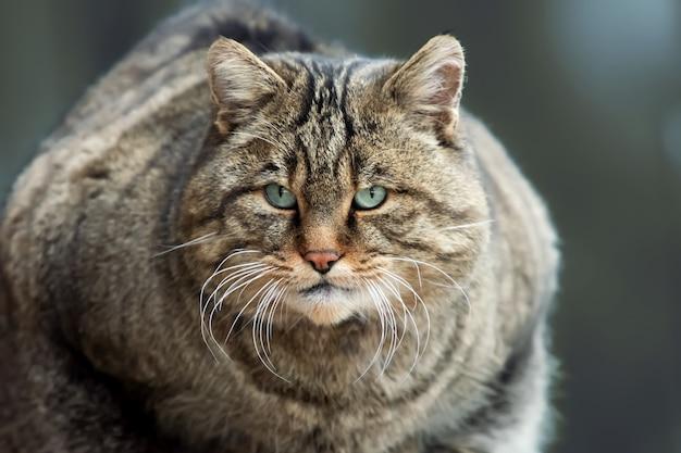 Портрет дикой европейской кошки (felis silvestris)