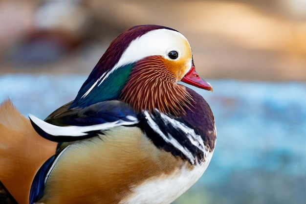 Portrait of a exotic colorful asian duck in a farm