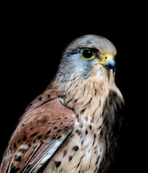 Portrait of a falcon on a black