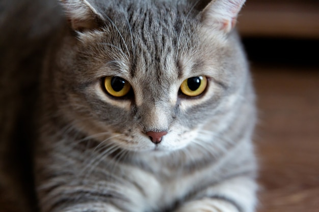 Portrait of fat tabby british cat with big eyes looking at camera