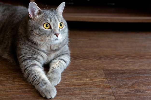 Portrait of fat tabby british cat with big eyes looking to side
