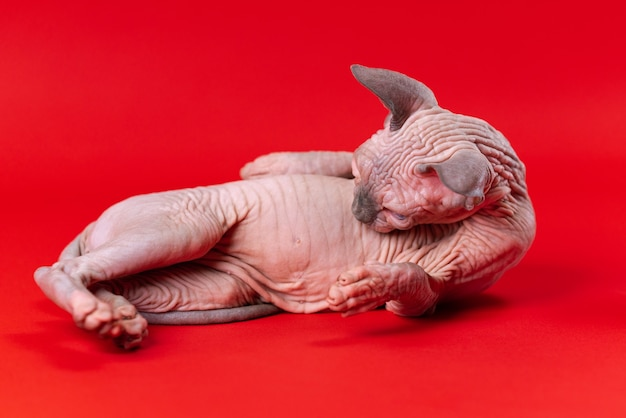 Portrait of female canadian sphynx cat on red background funny four month old