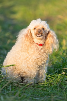 Portrait of a female cute apricot poodle dog in green grass outdoors.