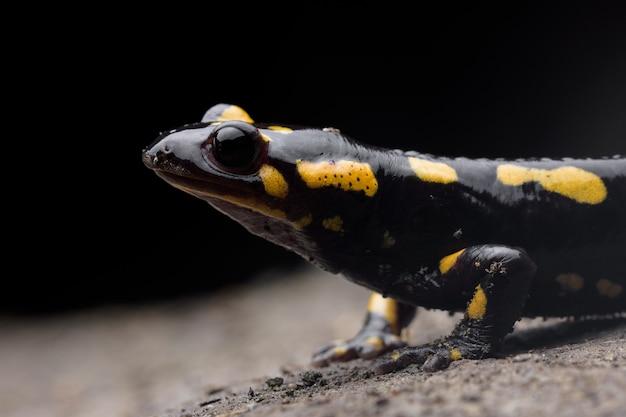 Портрет огненной саламандры (salamandra salamandra) в пещере