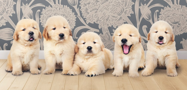 Portrait of five adorable golden retriever puppies