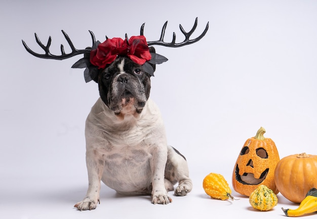 Portrait french bulldog sitting with halloween deer antlers and red flowers on white