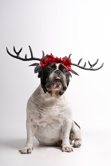 Portrait french bulldog with halloween deer antlers looking at camera with half tongue out on white
