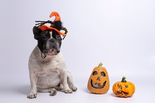 Portrait of french bulldog with halloween hat and pumpkins on white