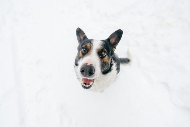 Portrait from above of kind human`s friend - faithful dog looking up at woner with funny smiling muzzle. cute lovely puppy showing tongue and waiting for food. happy pet in winter standing on snow.