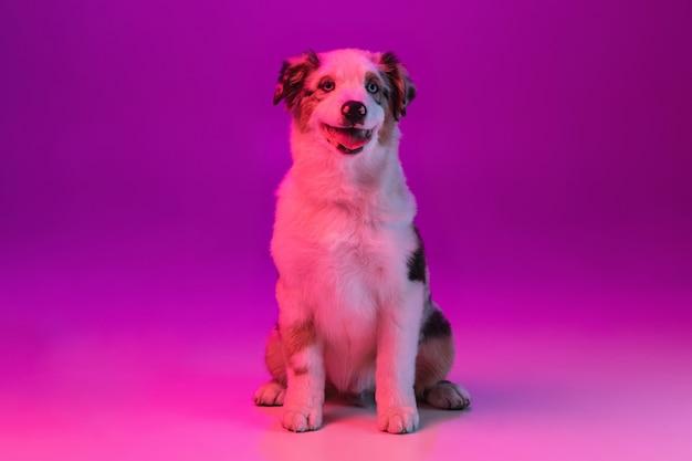 Portrait of funny active pet, cute dog australian shepherd posing isolated over studio wall in neon.