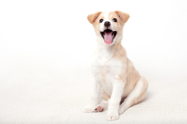 Portrait of a funny cute happy puppy with light hair on a white background