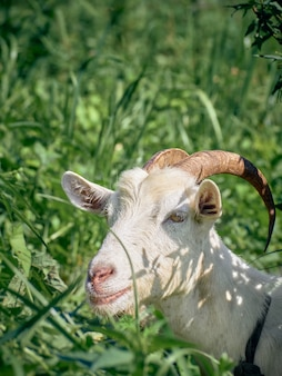 Portrait of a funny goat with horns