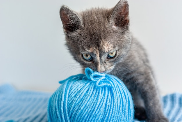 Portrait of funny little grey kitten playing with blue ball of thread and looking at camera