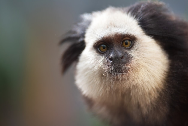 Portrait of a funny small monkey black-tufted marmoset, callithrix penicillata .