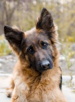Portrait of german shepherd dog photo of dogs head
