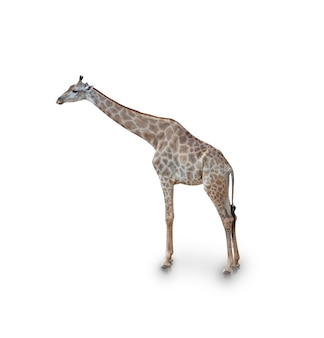 Portrait of giraffe isolated on white (clipping path)
