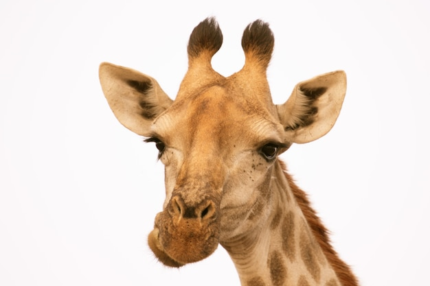 Portrait of a giraffe isolated on white