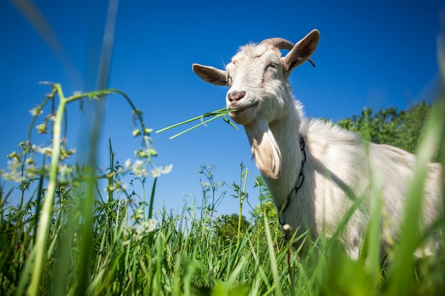 Portrait of a goat chewing grass on the field.